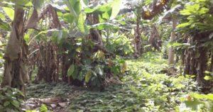 SAF cacao - evolucionado